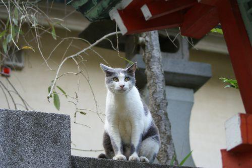 Enoshima cat 1