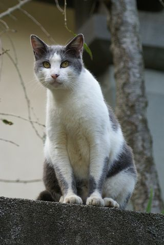 Enoshima cat 2